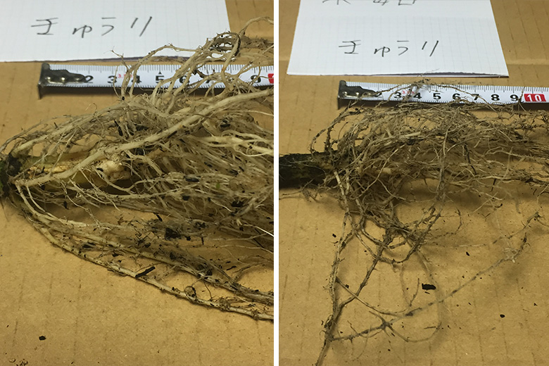 Root Growth Comparison (cucumber)
