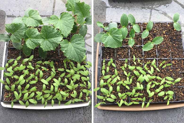 Growth Comparison of seedlings (cucumber, eggplant)